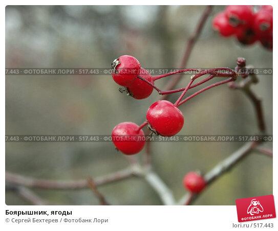 Купить «Боярышник, ягоды», фото № 517443, снято 19 октября 2004 г. (c) Сергей Бехтерев / Фотобанк Лори