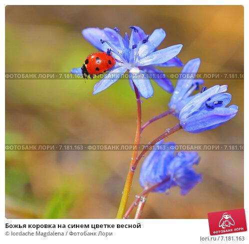 Купить «Божья коровка на синем цветке весной», фото № 7181163, снято 17 марта 2015 г. (c) Iordache Magdalena / Фотобанк Лори