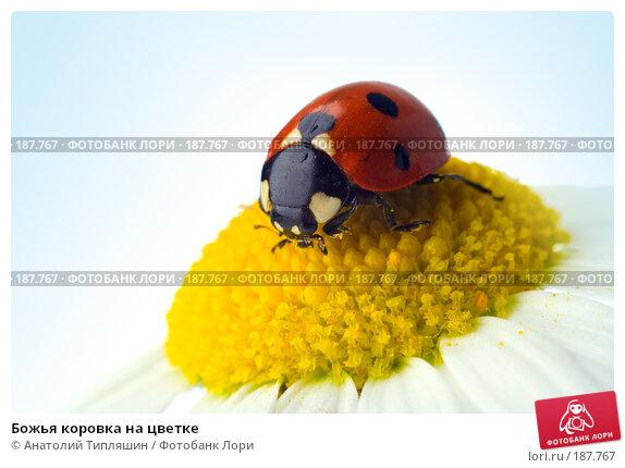 Божья коровка на цветке, фото № 187767, снято 9 июля 2007 г. (c) Анатолий Типляшин / Фотобанк Лори