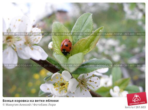 Божья коровка на ветке яблони, фото № 261603, снято 20 мая 2007 г. (c) Мажугин Алексей / Фотобанк Лори