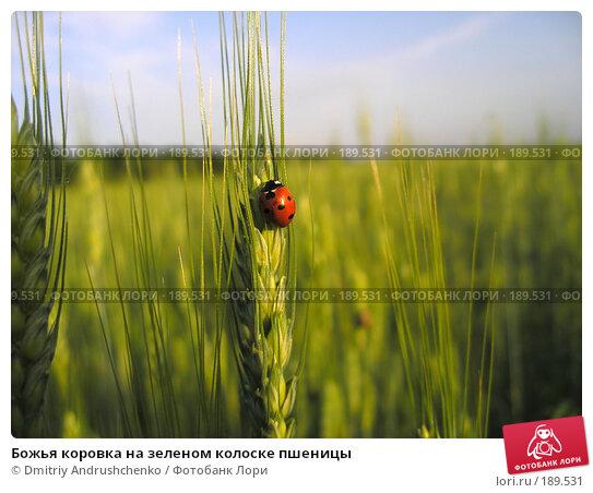 Божья коровка на зеленом колоске пшеницы, фото № 189531, снято 3 июня 2006 г. (c) Dmitriy Andrushchenko / Фотобанк Лори