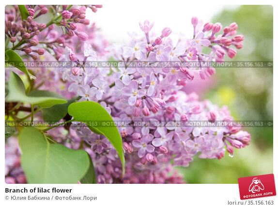 Branch of lilac flower. Стоковое фото, фотограф Юлия Бабкина / Фотобанк Лори