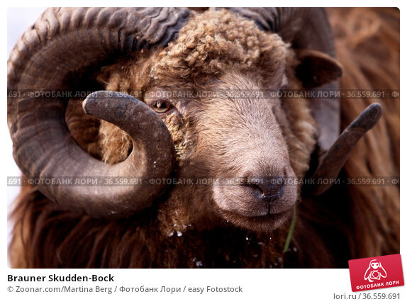 Brauner Skudden-Bock. Стоковое фото, фотограф Zoonar.com/Martina Berg / easy Fotostock / Фотобанк Лори