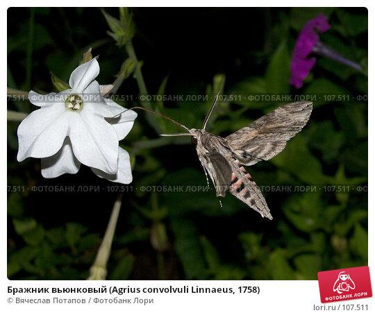 Бражник вьюнковый (Agrius convolvuli Linnaeus, 1758), фото № 107511, снято 4 августа 2007 г. (c) Вячеслав Потапов / Фотобанк Лори