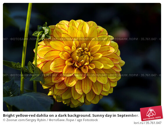 Bright yellow-red dahlia on a dark background. Sunny day in September. Стоковое фото, фотограф Zoonar.com/Sergey Rybin / age Fotostock / Фотобанк Лори