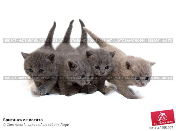 Купить «Британские котята», фото № 255907, снято 4 февраля 2007 г. (c) Cветлана Гладкова / Фотобанк Лори