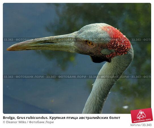 Купить «Brolga, Grus rubicundus. Крупная птица австралийских болот», фото № 33343, снято 19 июня 2006 г. (c) Eleanor Wilks / Фотобанк Лори