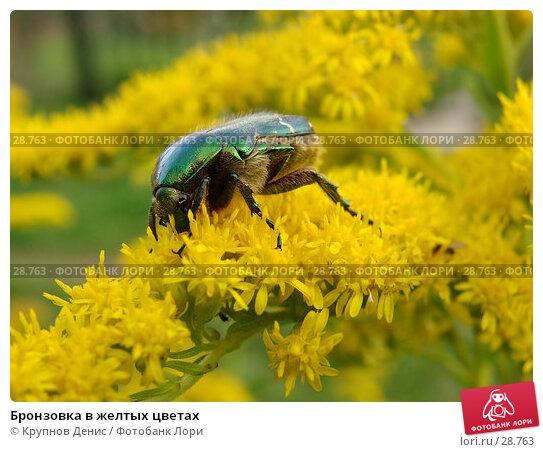 Бронзовка в желтых цветах, фото № 28763, снято 2 сентября 2006 г. (c) Крупнов Денис / Фотобанк Лори