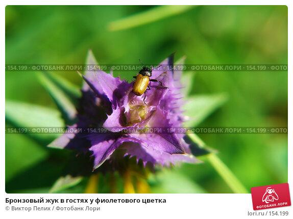 Бронзовый жук в гостях у фиолетового цветка, фото № 154199, снято 16 июня 2007 г. (c) Виктор Пелих / Фотобанк Лори