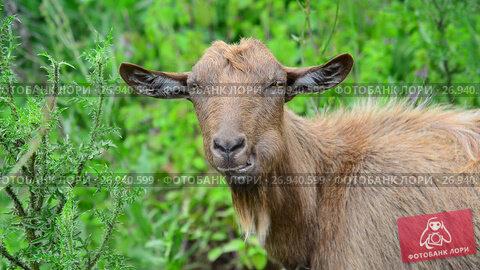 Купить «Brown goat without horns is grazing in nature», видеоролик № 26940599, снято 12 июля 2017 г. (c) Володина Ольга / Фотобанк Лори
