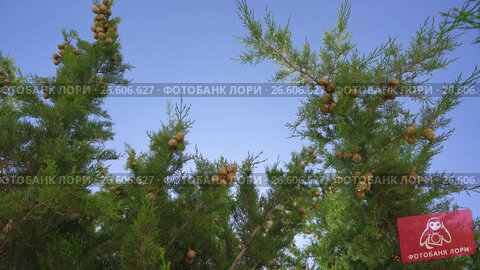 Купить «Brunches with fruit in cypress grove on windy day», видеоролик № 26606627, снято 27 июня 2017 г. (c) Гурьянов Андрей / Фотобанк Лори