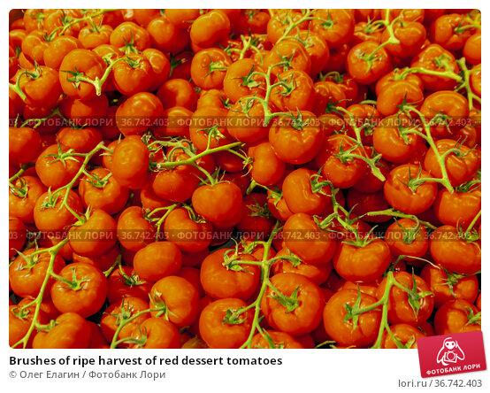 Brushes of ripe harvest of red dessert tomatoes. Стоковое фото, фотограф Олег Елагин / Фотобанк Лори