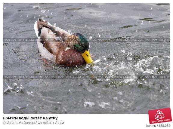 Купить «Брызги воды летят на утку», эксклюзивное фото № 158259, снято 16 сентября 2007 г. (c) Ирина Мойсеева / Фотобанк Лори