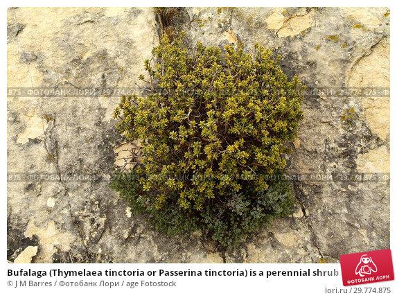 Купить «Bufalaga (Thymelaea tinctoria or Passerina tinctoria) is a perennial shrub native to eastern Spain (Catalonia and Comunidad Valenciana). This photo was...», фото № 29774875, снято 28 апреля 2007 г. (c) age Fotostock / Фотобанк Лори