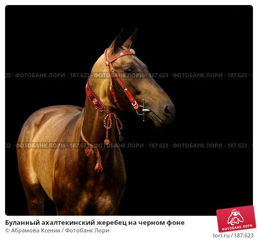 Буланный ахалтекинский жеребец на черном фоне, фото № 187623, снято 30 июня 2007 г. (c) Абрамова Ксения / Фотобанк Лори