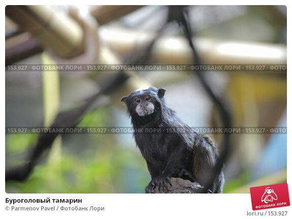 Буроголовый тамарин, фото № 153927, снято 11 декабря 2007 г. (c) Parmenov Pavel / Фотобанк Лори