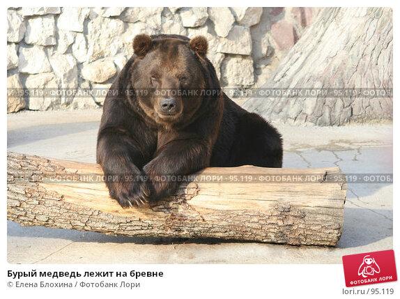 Бурый медведь лежит на бревне, фото № 95119, снято 2 октября 2007 г. (c) Елена Блохина / Фотобанк Лори