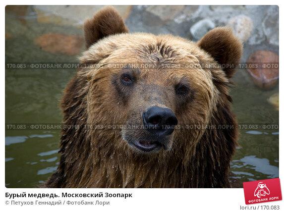 Купить «Бурый медведь. Московский Зоопарк», фото № 170083, снято 24 июня 2007 г. (c) Петухов Геннадий / Фотобанк Лори