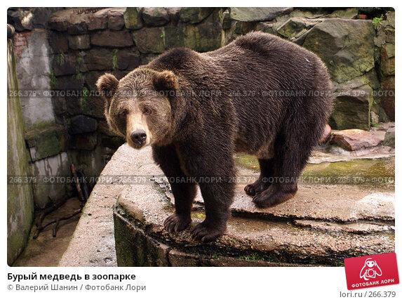 Купить «Бурый медведь в зоопарке», фото № 266379, снято 31 июля 2007 г. (c) Валерий Шанин / Фотобанк Лори