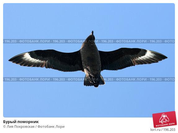 Бурый поморник, фото № 196203, снято 24 января 2008 г. (c) Лия Покровская / Фотобанк Лори