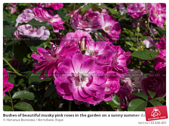 Купить «Bushes of beautiful musky pink roses in the garden on a sunny summer day», фото № 33636431, снято 23 августа 2019 г. (c) Наталья Волкова / Фотобанк Лори