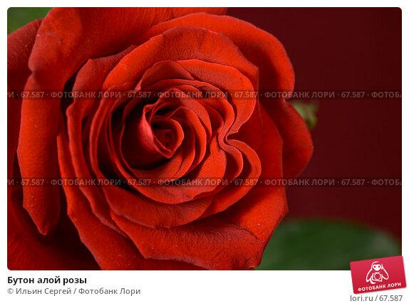 Бутон алой розы, фото № 67587, снято 8 марта 2007 г. (c) Ильин Сергей / Фотобанк Лори