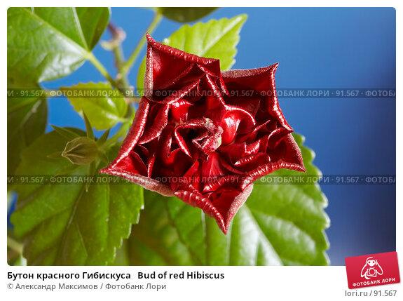 Бутон красного Гибискуса   Bud of red Hibiscus, фото № 91567, снято 14 октября 2006 г. (c) Александр Максимов / Фотобанк Лори