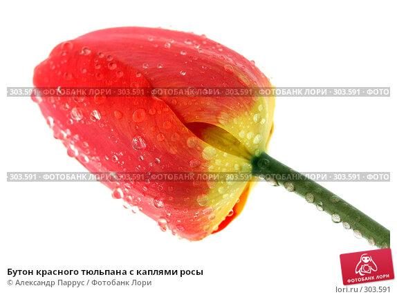 Бутон красного тюльпана с каплями росы, фото № 303591, снято 21 апреля 2008 г. (c) Александр Паррус / Фотобанк Лори