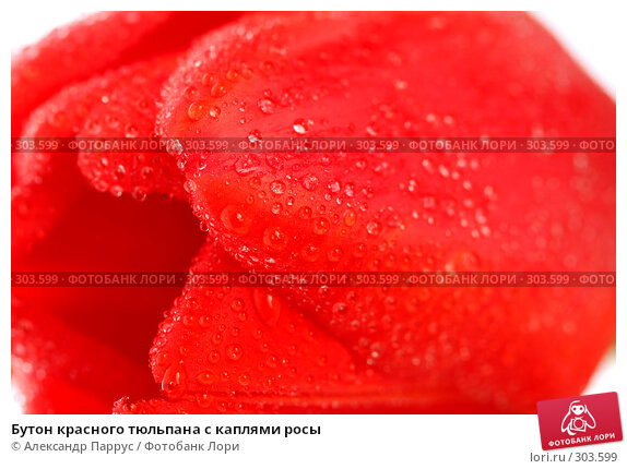 Бутон красного тюльпана с каплями росы, фото № 303599, снято 21 апреля 2008 г. (c) Александр Паррус / Фотобанк Лори