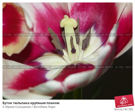 Бутон тюльпана крупным планом, фото № 41703, снято 8 марта 2005 г. (c) Ирина Солошенко / Фотобанк Лори