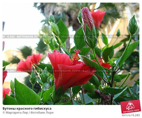 Бутоны красного гибискуса, фото № 6243, снято 4 июля 2006 г. (c) Маргарита Лир / Фотобанк Лори