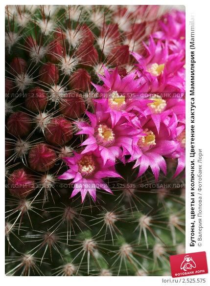 Купить «Бутоны, цветы и колючки. Цветение кактуса Маммилярия (Mammilaria)», фото № 2525575, снято 11 мая 2011 г. (c) Валерия Попова / Фотобанк Лори