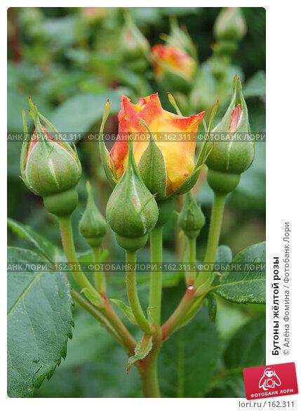 Купить «Бутоны жёлтой розы», фото № 162311, снято 25 мая 2006 г. (c) Алёна Фомина / Фотобанк Лори