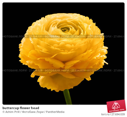 Купить «buttercup flower head», фото № 27694039, снято 20 апреля 2019 г. (c) PantherMedia / Фотобанк Лори