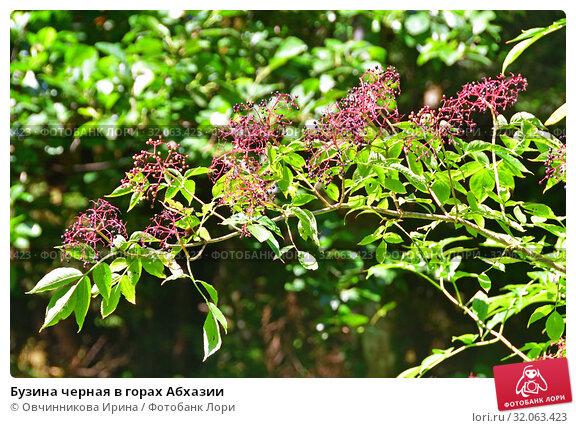 Бузина черная в горах Абхазии (2019 год). Стоковое фото, фотограф Овчинникова Ирина / Фотобанк Лори