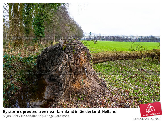 Купить «By storm uprooted tree near farmland in Gelderland, Holland», фото № 28250055, снято 28 января 2018 г. (c) age Fotostock / Фотобанк Лори
