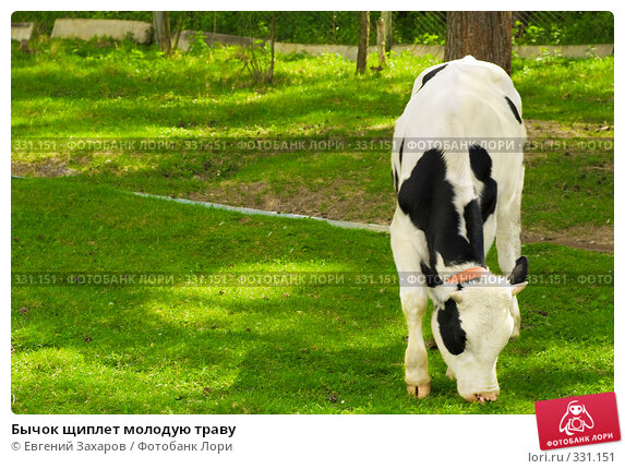 Бычок щиплет молодую траву, фото № 331151, снято 31 мая 2008 г. (c) Евгений Захаров / Фотобанк Лори