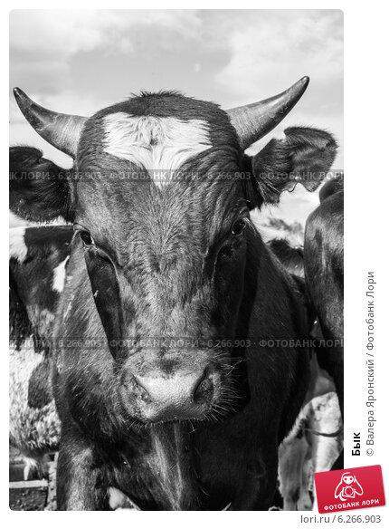 Бык. Стоковое фото, фотограф Валера Яронский / Фотобанк Лори