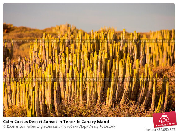 Calm Cactus Desert Sunset in Tenerife Canary Island. Стоковое фото, фотограф Zoonar.com/alberto giacomazzi / easy Fotostock / Фотобанк Лори