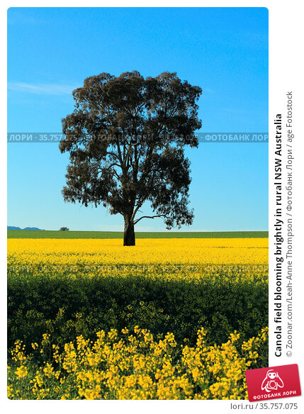Canola field blooming brightly in rural NSW Australia. Стоковое фото, фотограф Zoonar.com/Leah-Anne Thompson / age Fotostock / Фотобанк Лори