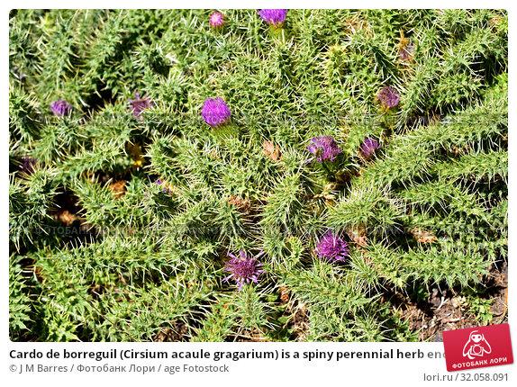 Cardo de borreguil (Cirsium acaule gragarium) is a spiny perennial herb endemic to Sierras Beticas. This photo was taken in Sierra Nevada National Park, Granada province, Andalucia, Spain. Стоковое фото, фотограф J M Barres / age Fotostock / Фотобанк Лори
