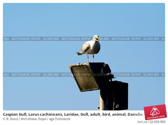 Caspian Gull, Larus cachinnans, Laridae, Gull, adult, bird, animal, Danube, Romania. Стоковое фото, фотограф R. Kunz / age Fotostock / Фотобанк Лори