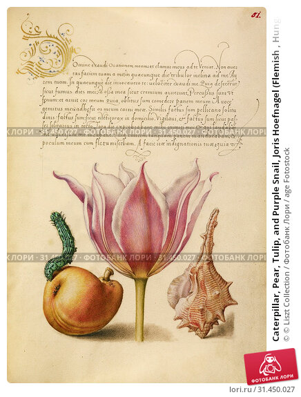 Caterpillar, Pear, Tulip, and Purple Snail, Joris Hoefnagel (Flemish , Hungarian, 1542 - 1600), and Georg Bocskay (Hungarian, died 1575), Vienna, Austria... (2018 год). Редакционное фото, фотограф © Liszt Collection / age Fotostock / Фотобанк Лори