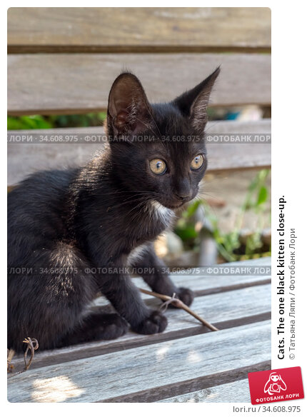 Cats. The one black kitten close-up. Стоковое фото, фотограф Татьяна Ляпи / Фотобанк Лори