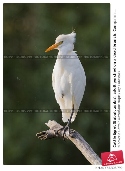 Cattle Egret (Bubulcus ibis), adult perched on a dead branch, Campania... Стоковое фото, фотограф Saverio Gatto / age Fotostock / Фотобанк Лори