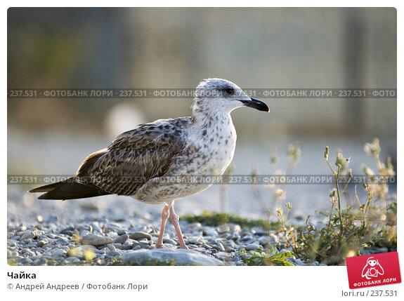 Чайка, фото № 237531, снято 28 мая 2017 г. (c) Андрей Андреев / Фотобанк Лори