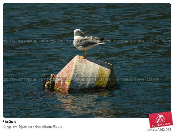 Купить «Чайка», фото № 262975, снято 16 июля 2007 г. (c) Артем Ефимов / Фотобанк Лори