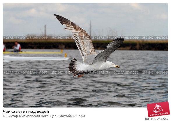 Купить «Чайка летит над водой», фото № 257547, снято 19 апреля 2008 г. (c) Виктор Филиппович Погонцев / Фотобанк Лори