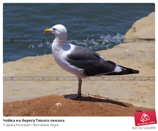 Чайка на берегу Тихого океана, фото № 223859, снято 12 июня 2006 г. (c) Дима Рогожин / Фотобанк Лори