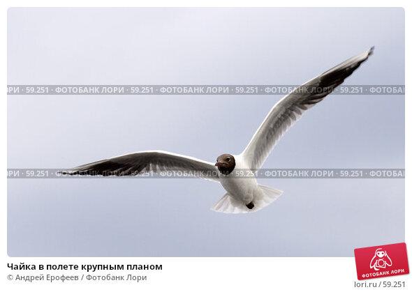 Купить «Чайка в полете крупным планом», фото № 59251, снято 3 июля 2007 г. (c) Андрей Ерофеев / Фотобанк Лори